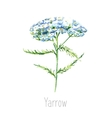 Watercolor yarrow herb vector image vector image