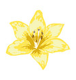 beautiful yellow lily flower of big lily isolated vector image vector image
