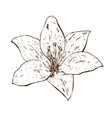 beautiful contour lily flower of big lily vector image vector image