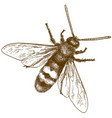 engraving of hornet or vespa vector image