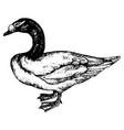 vintage engraving a duck vector image vector image