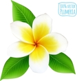 realistic isolated plumeria flower vector image