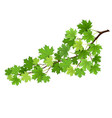 maple branch with green leaves vector image