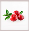 Red cranberries with leaves vector image vector image