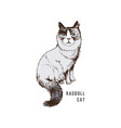 hand drawn ragdoll cat vector image vector image