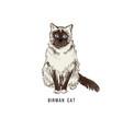 hand drawn birman cat vector image vector image