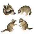 set of raccoons vector image