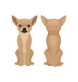flat design of sitting chihuahua puppy vector image vector image