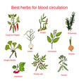 herbs for blood circulation vector image vector image