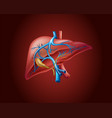 human liver on red background vector image vector image
