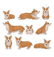set of welsh corgi dog in different poses puppy vector image
