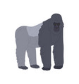 stocky ape or gorilla standing on four legs vector image vector image