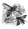 wasp and hornet vintage vector image vector image