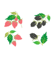 Set of raspberry and blackberry vector | Price: 1 Credit (USD $1)