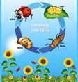 diagram showing life cycle ladybug vector image vector image