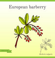 barberry berberis vulgaris branch with berries vector image