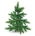 evergreen tree on a white background vector image