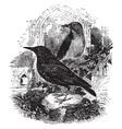 european starling vintage vector image vector image