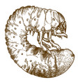 engraving drawing of may beetle larve vector image vector image