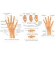 Skeletal System Phalanges vector image vector image