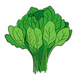 a bundle of spinach vector image