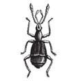 pselaphus heisii vintage vector image vector image
