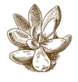 engraving of pachyveria glauca vector image vector image