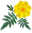 Realistic yellow marigold flower vector image