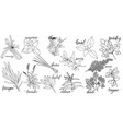popular culinary herbs vector image