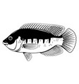 tilapia fish black and white vector image vector image