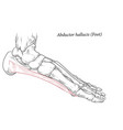 abductor hallucis muscle foot vector image vector image