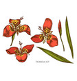 collection hand drawn colored tigridia vector image