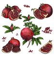 hand drawn sketch style pomegranates set vector image vector image