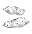 hand drawn sweet potato isolated on white vector image
