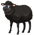 a black sheep on white background vector image vector image