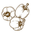 engraving of three bell pepper vector image vector image