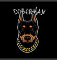 doberman head with a chain on his neck on a dark vector image