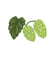 green hops with leaf humulus lupulus plant vector image