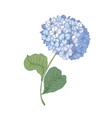 hydrangea or hortensia blooming flower isolated on vector image