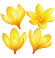 Set of yellow crocuses vector image