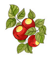 digital watercolor apple tree branch with fruits vector image vector image