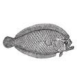 lefteye flounder vintage vector image vector image