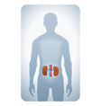 kidneys highlighted vector image vector image