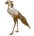 engraving drawing secretary bird vector image vector image