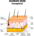 Cross section human skin