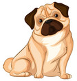 little pug dog on white background vector image vector image
