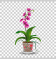 phalaenopsis orchid in pot pink red flowers with vector image