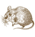 engraving drawing of spiny mouse vector image