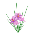 Purple Crocus Sativus Flower on White Background vector image vector image