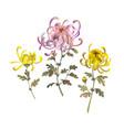set of chrysanthemum flowers floral design vector image vector image